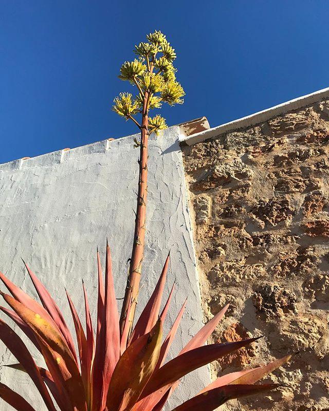 // reaching high into the blue sky // #agave #cactus #bluesky #mediterranean #plants #flora #ibiza #rustic #finca #farmhouse #casapayesa #stonewalls #lascicadasibiza #ibiza2018 #springishere #summerisnear #vacation #destination #love #nature #easterholiday #holidayhome