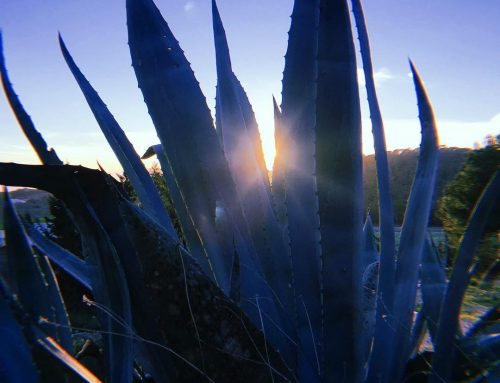 // November Day // #nature #campo #blue #agave #cactus #mediterranean #flora #ibiza #love #lascicadasibiza #boutiquevilla #slowlife #islandlife #november #light #winterseason 💙